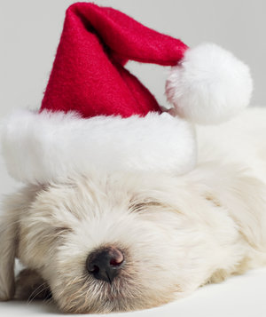 sleeping-puppy-santa-hat