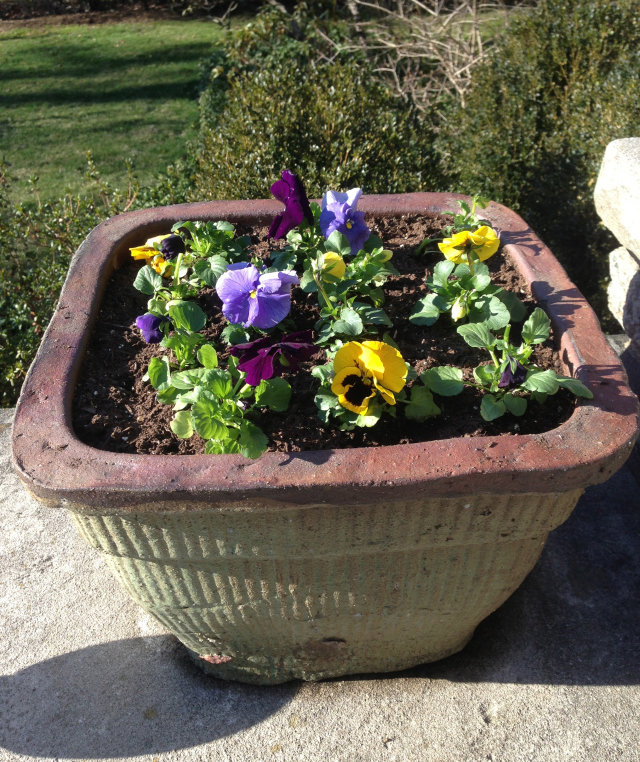 potted-pansies